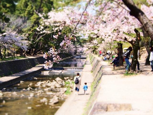 桜満開の夙川